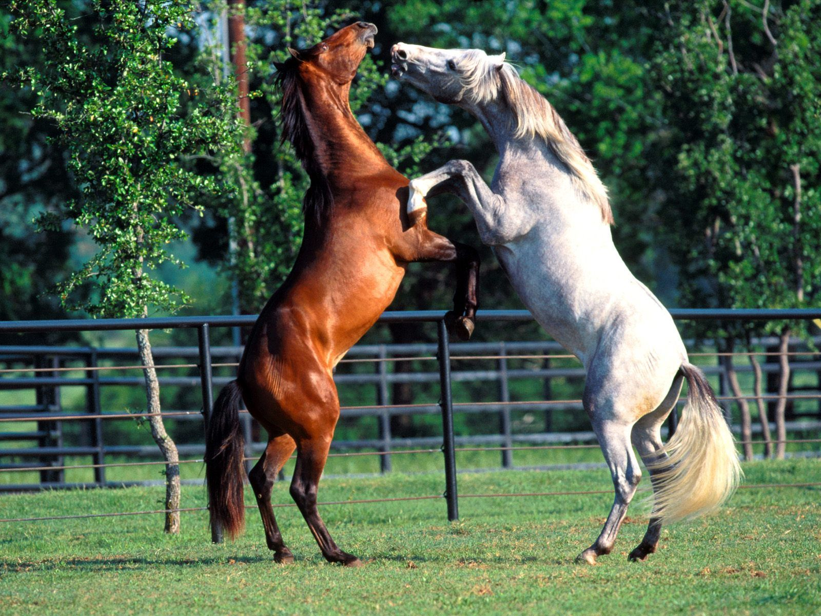 Great   Wallpaper Horse Lightning - two+horse+playing  Perfect Image Reference_95839.jpg