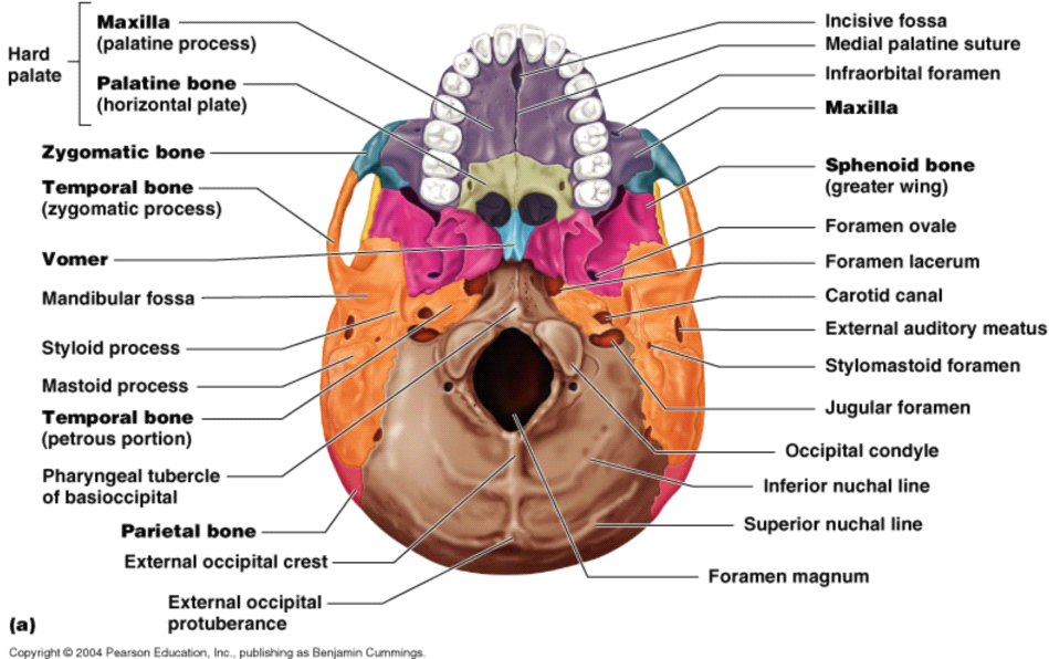 Human Anatomy Internal Organs  Labeled Inside Brain Model