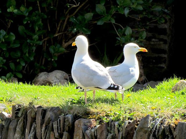 Two herring gulls