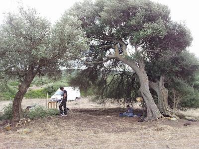 Olivastro secolare ed ulivo ripuliti dai polloni a Monte Pedru a Monte Pedru, Perfugas, Sassari, Sardegna