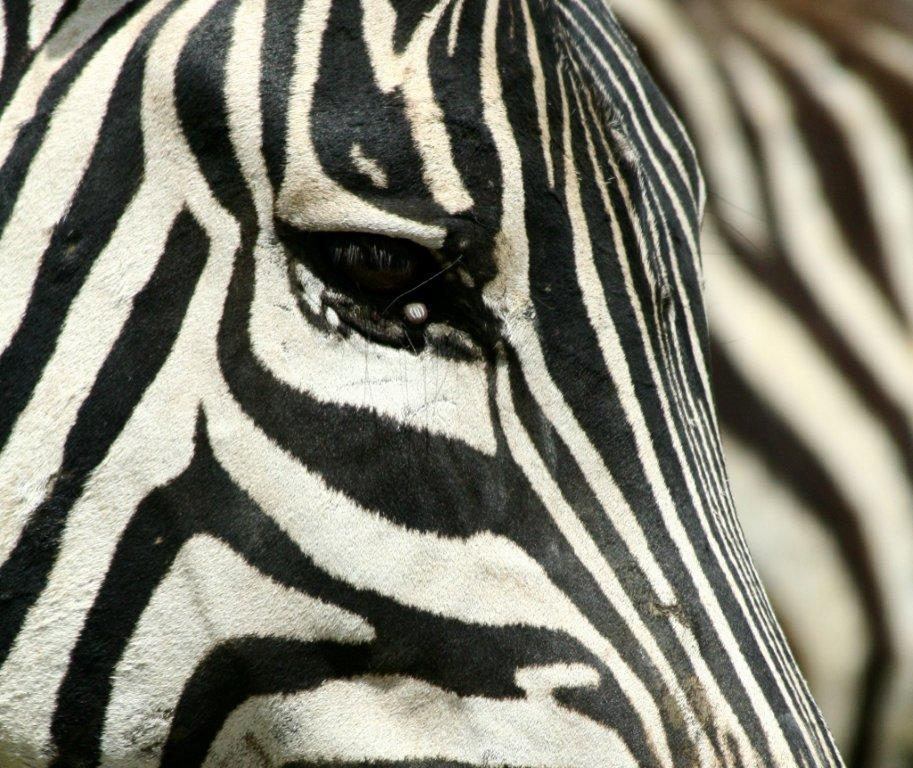 Zebra Faces http://privileged-observer.blogspot.com/2011_02_01_archive.html