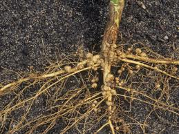 Bpp Banyuates Botani Tanaman Kedelai