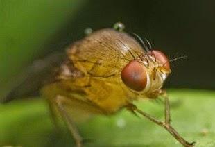 Mengapa Lalat Lihai Hindari Bahaya