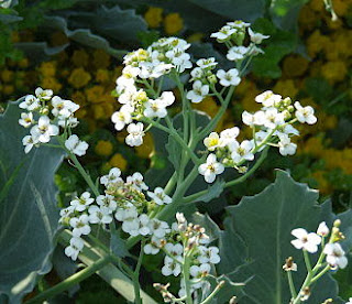 Sea kale in flower