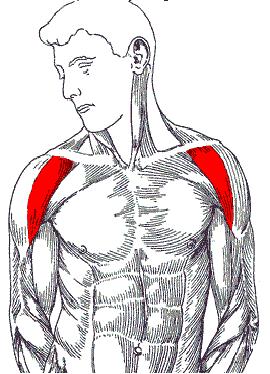 anterior deltoid muscles - photo #10