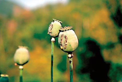 Opium Poppies at Golden Triangle