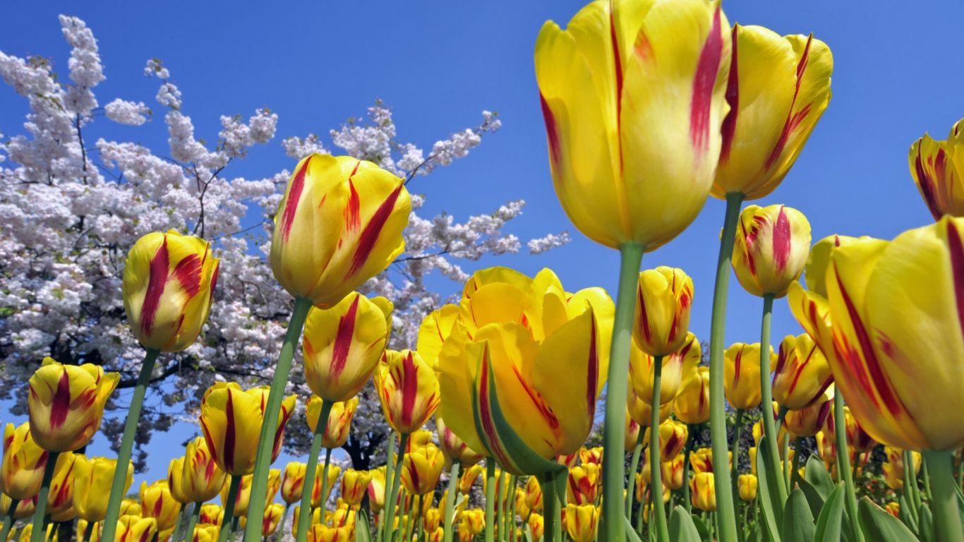 http://1.bp.blogspot.com/-F_cH7OnAq9M/Tain1ZedgZI/AAAAAAAAGa0/XZ9Qis1Jdwk/s1600/flowers-wallpaper_1366x768_83713.jpg