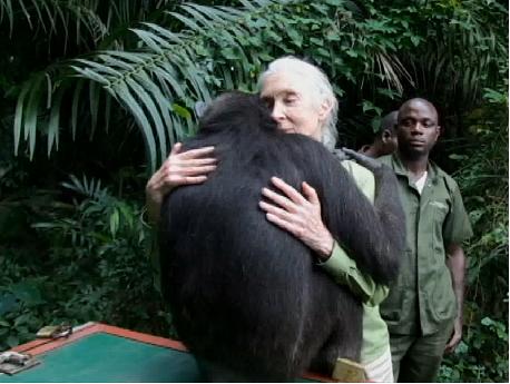 Conmovedora Liberación de la Chimpancé Wounda en Congo