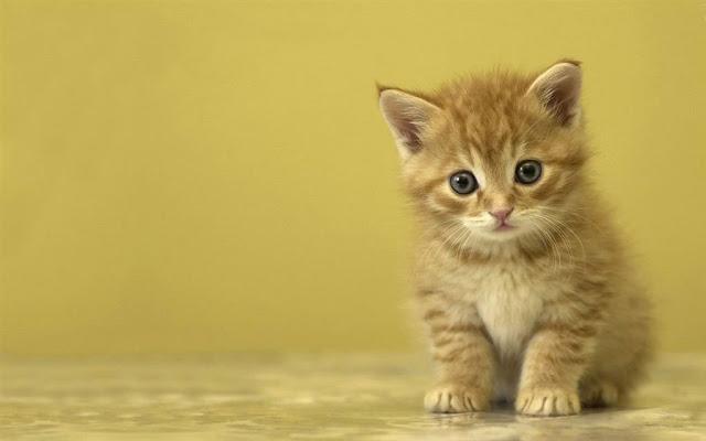 Cute Cat Picture And Desktop Wallpaper