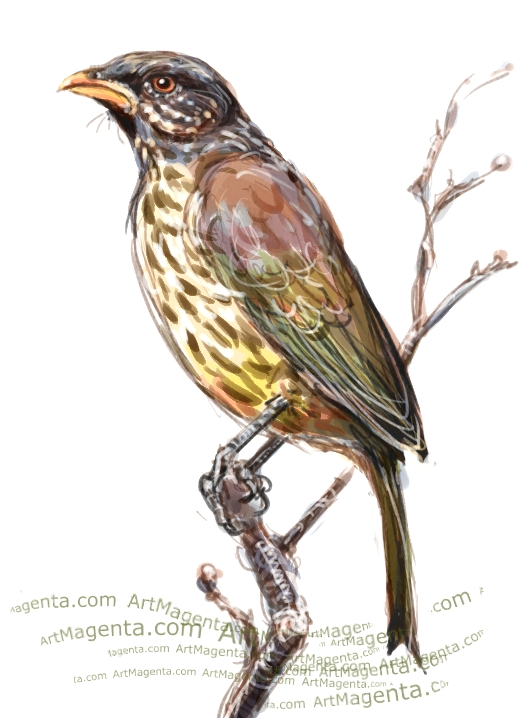Palmchat sketch painting. Bird art drawing by illustrator Artmagenta