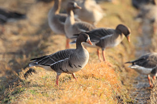 Late Season Whiye-Fronted Goose Hunting