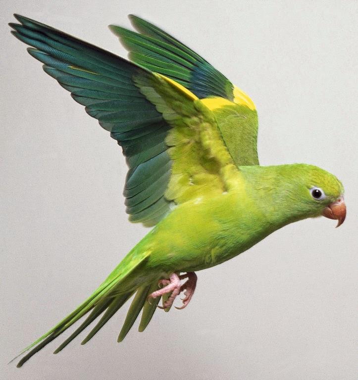 burung masteran