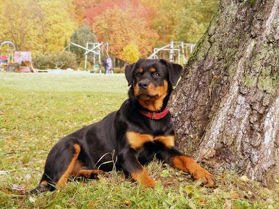 Hermoso Perro Rottweiler - Cute Dogs