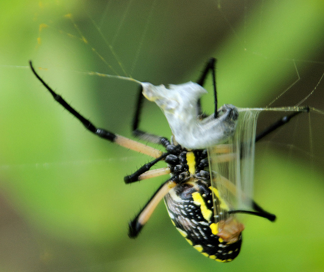 Yellow Garden Spider The Life Of Animals