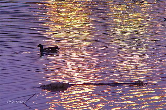 遠方的大樓玻璃將金黃的夕陽映照在水面上,一隻紅冠水雞悠閒地划過。