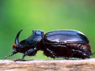 binatang terkuat di dunia - kumbang badak/kumbang tanduk
