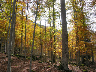 Bosc de Conangles a la tardor Val d'Aran fageda