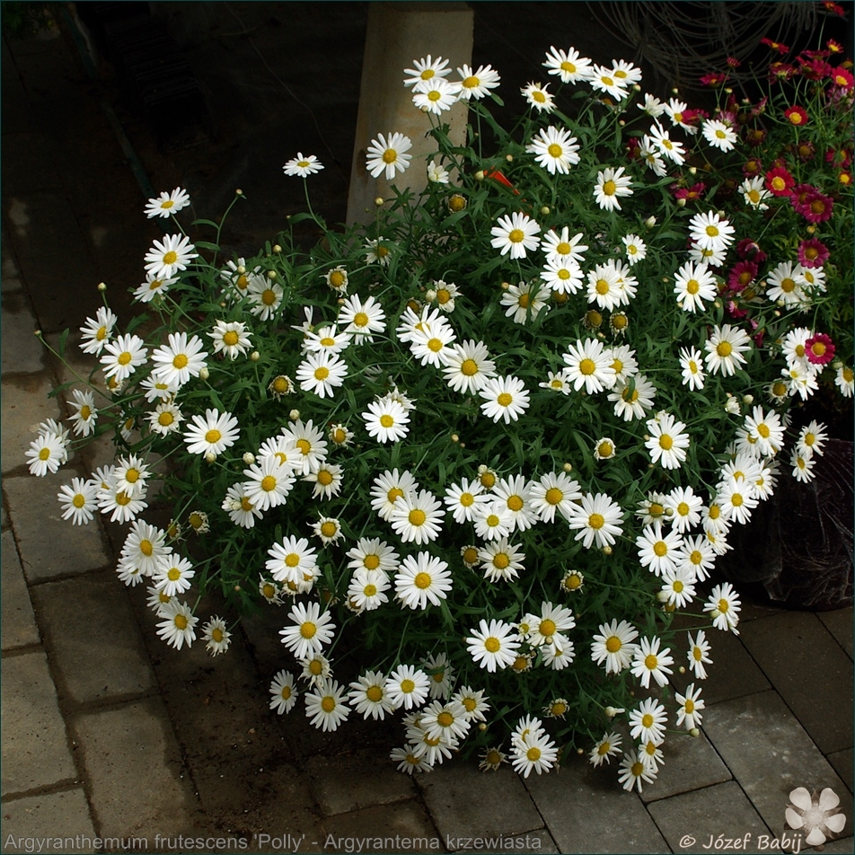 Argyranthemum 'Polly' - Argyrantema krzewiasta