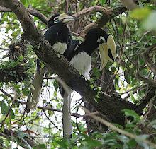 Oriental Pied Hornbill_2011