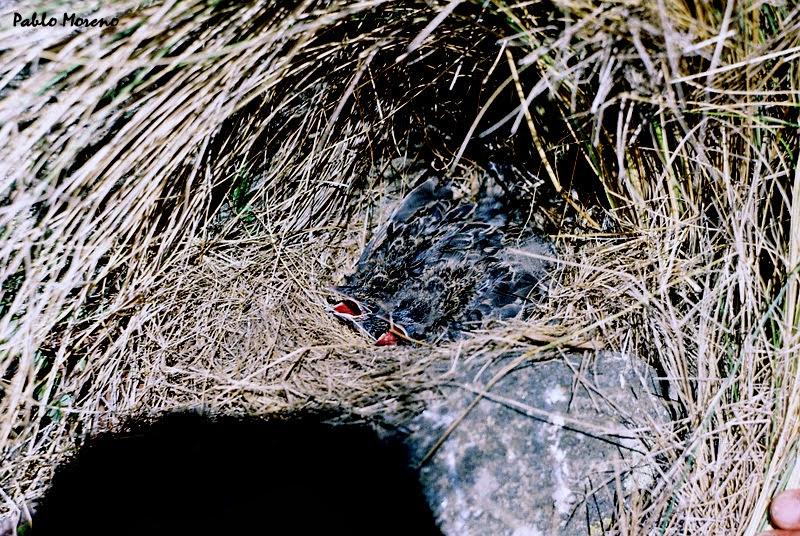 nido de loica