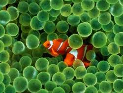 Под водой: Клоун и Анемоны