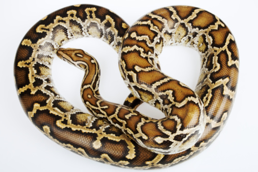 animals pets types of pet snakes