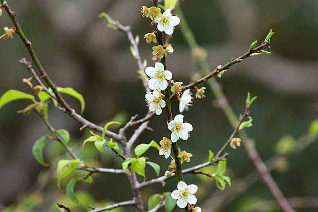 plum blossoms, flowers, trees, branches, buds