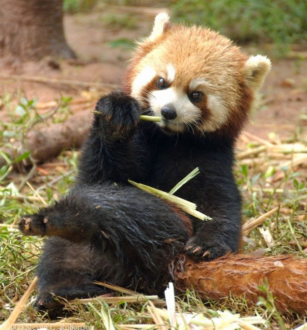 40 Adorable red panda pictures (40 pics), red panda sitting like a human