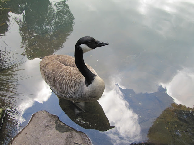 canadian-goose-nz
