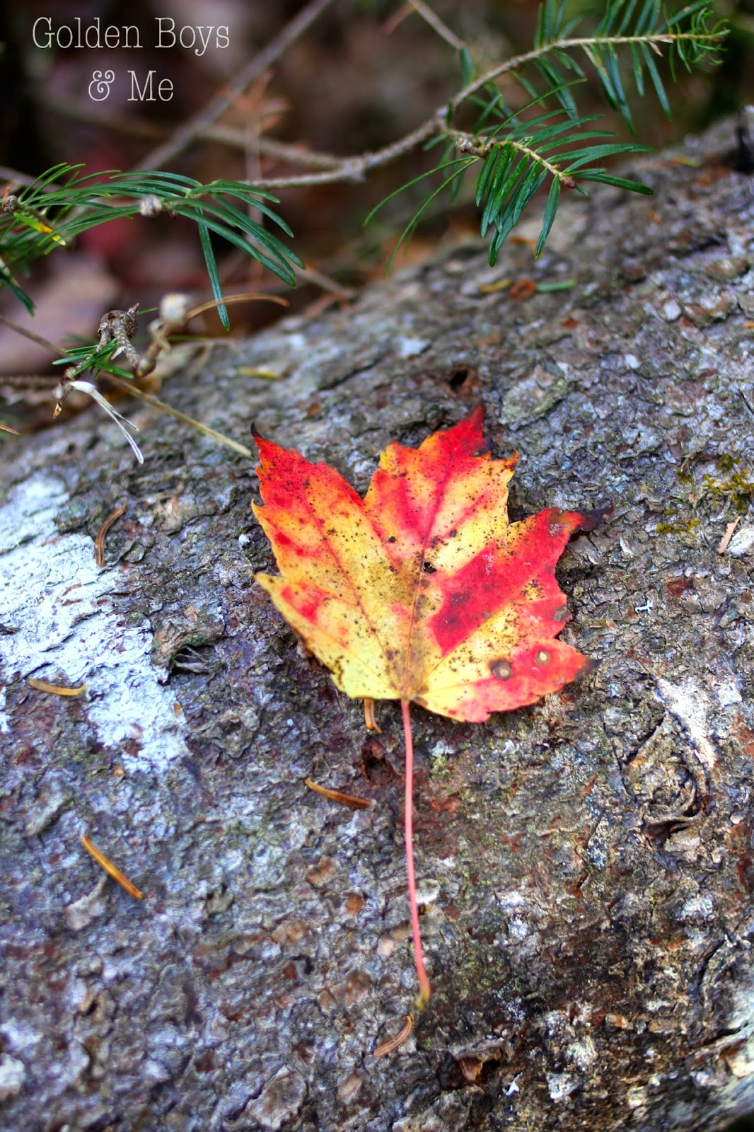 fall leaf on log-www.goldenboyandme.com