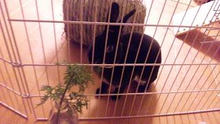 ニンジンの葉を食べるうさぎ、ミニレッキスのモモタス