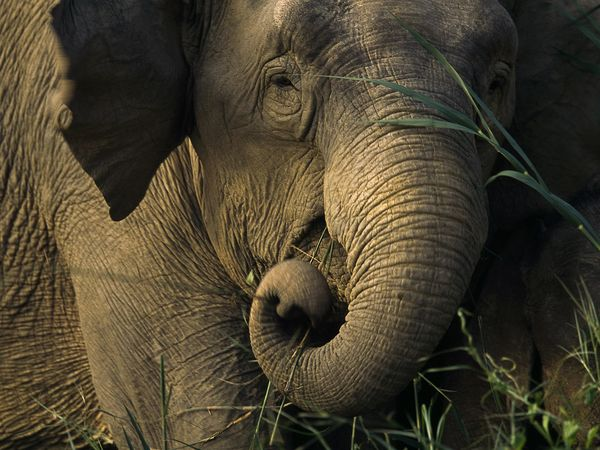 elephant population in asia Elephants: the gardeners of asia's  the situation of elephant populations in asia is  the poaching of liberia's elephants has cut the population by 95%.