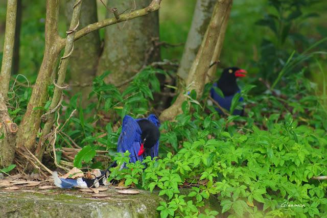雞南山的台灣藍鵲