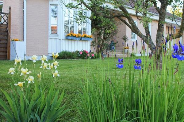 Iris, fioritura in Svezia