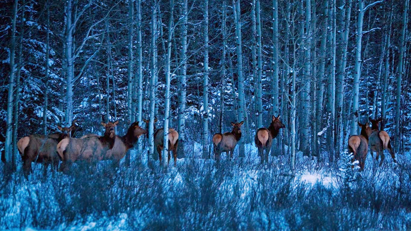 Elk near Banff National Park, Alberta, Canada (© Todd Korol/Aurora Photos) 308