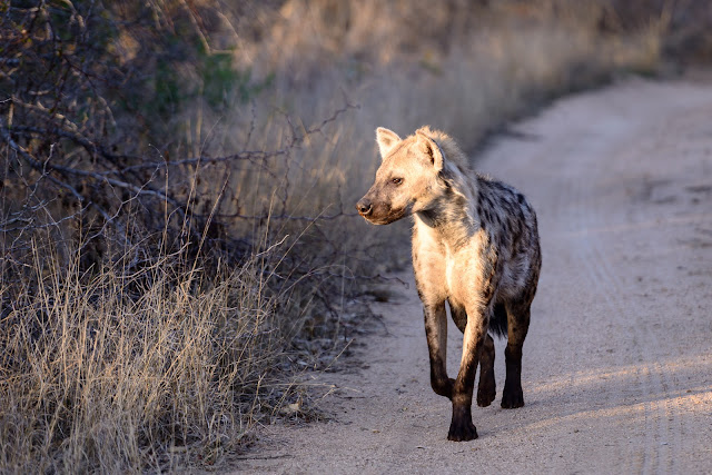 Early Hyena