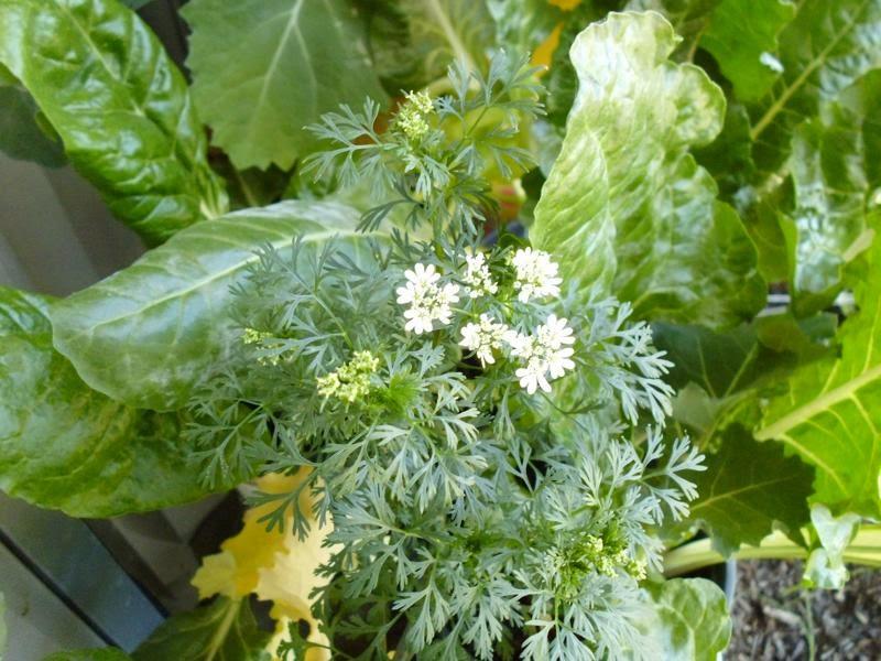 Cilantro Flowering