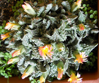flores del cactus boca de tigre