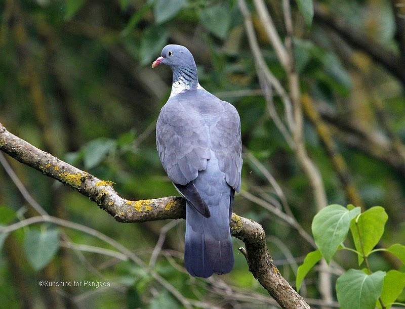 Common Wood Pigeon in a forest