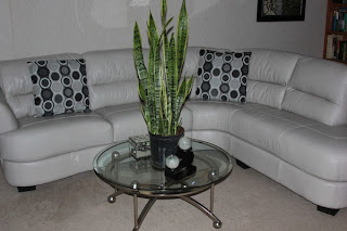 Leather sectional being off-gassed in a home with the help of a mother-in-Law's Tongue plant Sanseviria Laurentii.