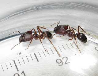 Major workers of Pheidole longipes