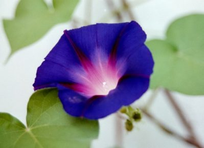 Flowers for flower lovers moon flowers pictures blue moon flower mightylinksfo
