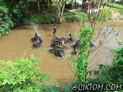 Gajah dewasa mandi-manda bersama manhut
