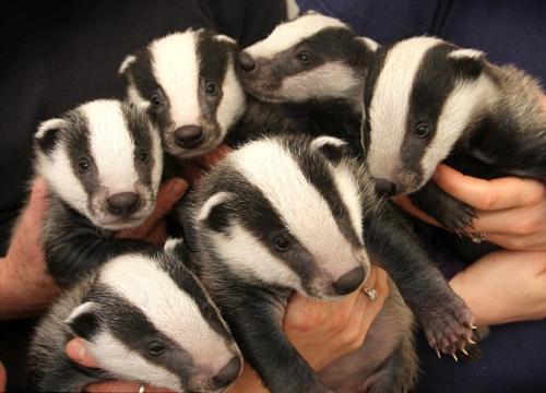 badger babies! : aww - 285.0KB