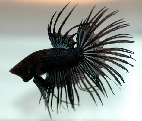 Black Siamese Fighting Fish