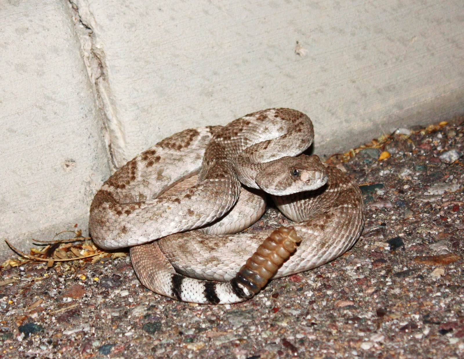 Rattlesnake Striking | www.imgkid.com - The Image Kid Has It!  Western