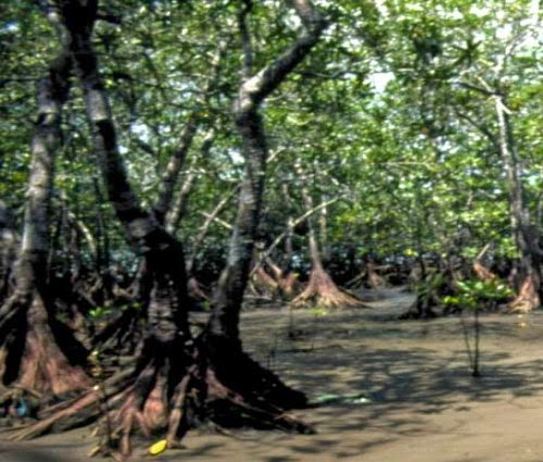 Mangrove Swamp Tree picture 3