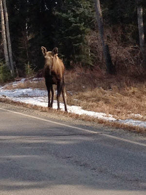 Alaska Moose She Knits in Pearls