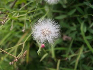 Bunga Rumput Yang Putih dan Indah