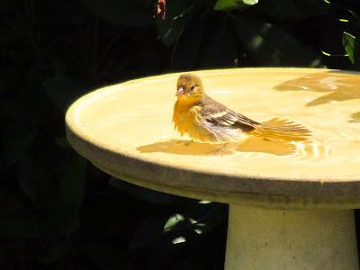 beautiful bird in bath